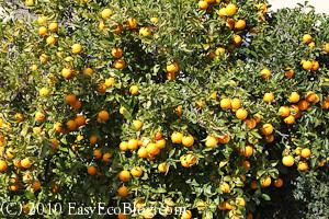 orange tree, citrus tree